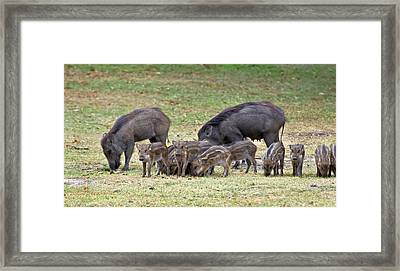 Wild Boar Sow And Piglets Framed Print by K Jayaram