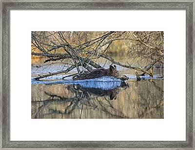 Wild Boar Swimming Framed Print