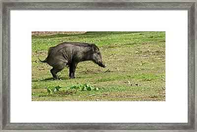 Wild Boar Urinating Framed Print by K Jayaram