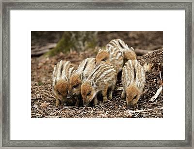 Wild Boars Piglets Framed Print by Bildagentur-online/mcphoto-schulz
