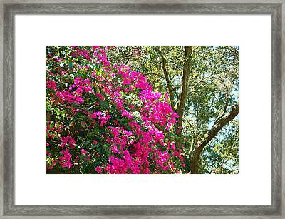 Wild Bougainvillea Framed Print by Aimee L Maher Photography and Art Visit ALMGallerydotcom