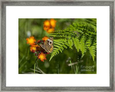 Wild Buckeye Camouflage Framed Print