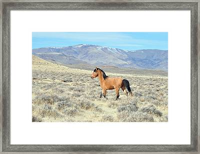 Wild Buckskin Framed Print by Lula Adams