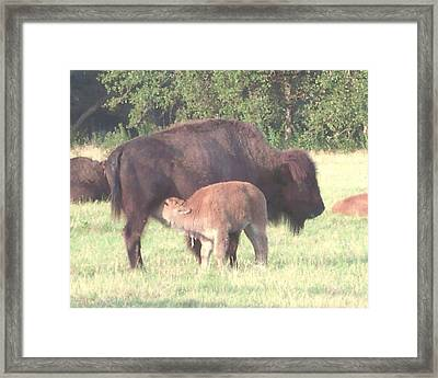 Wild Buffalo And Baby Framed Print by Rosalie Klidies