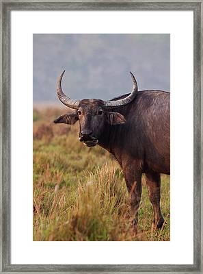 Wild Buffalo, Kaziranga National Park Framed Print by Jagdeep Rajput