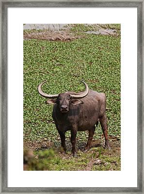 Wild Buffalo Near Water Body, Kaziranga Framed Print by Jagdeep Rajput