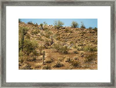 Wild Burros Framed Print by Robert Bales