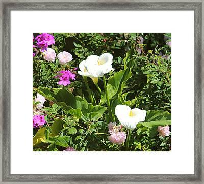 Wild Calla Lillies Framed Print