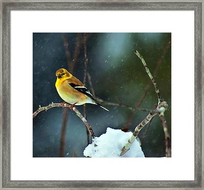 Framed Print featuring the photograph Wild Canary by John Harding