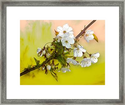 Wild Cherry Blossom Cluster Framed Print by Jane McIlroy