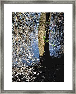 Wild Cherry Tree On The Sacramento River  Framed Print by Pamela Patch