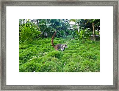 Wild Coati Framed Print by Eti Reid
