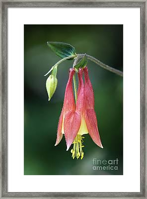 Wild Columbine - D008442 Framed Print by Daniel Dempster