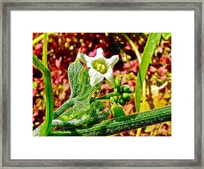 Wild Cucumber In Park Sierra Near Coarsegold-california  Framed Print by Ruth Hager