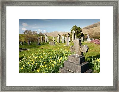 Wild Daffodils In Troutbeck Churchyard Framed Print by Ashley Cooper