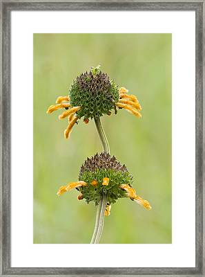 Wild Dagg (leonotis Sp.) In Flower Framed Print by Science Photo Library