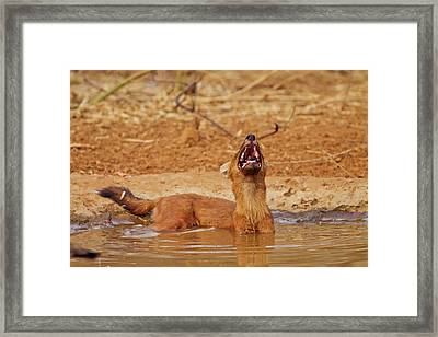 Wild Dog Catching The Scent, Tadoba Framed Print