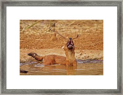 Wild Dog Catching The Scent, Tadoba Framed Print by Jagdeep Rajput