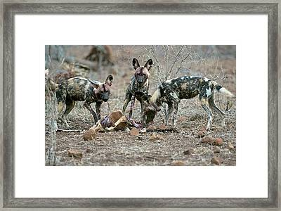 Wild Dogs Feeding On An Impala Carcass Framed Print by Tony Camacho