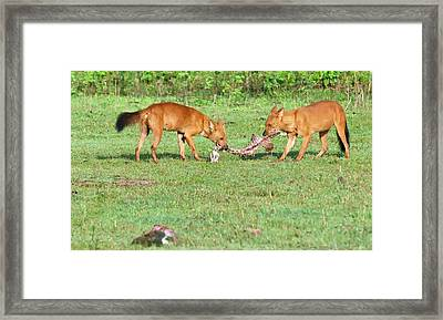 Wild Dogs Playing With A Carcass Framed Print