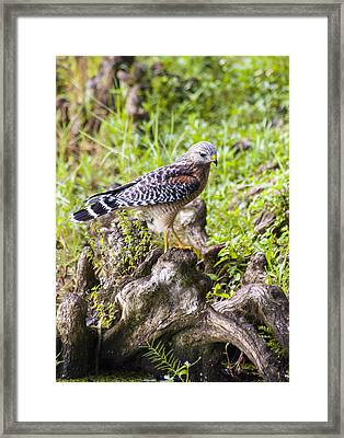 Wild Florida Hawk Framed Print by Carolyn Marshall