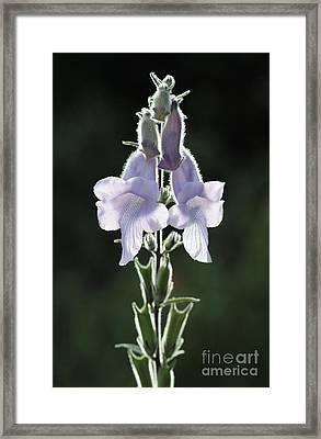 Wild Foxglove Framed Print by Neil Overy