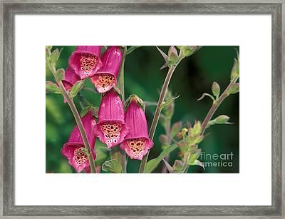 Wild Foxglove Framed Print