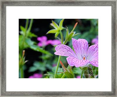 Framed Print featuring the photograph Wild Geranium Flowers by Clare Bevan
