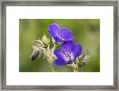 Wild Geranium _geranium Pratense_ Black Framed Print by Carl Bruemmer