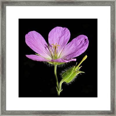 Wild Geranium Framed Print by Tammy Schneider