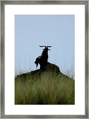 Wild Goats Of Kona Framed Print