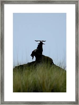 Wild Goats Of Kona Framed Print by Lori Seaman