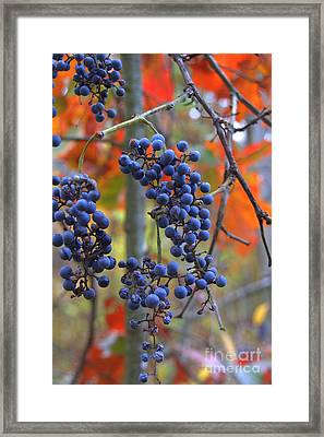 Framed Print featuring the photograph Wild Grapes by Jim McCain