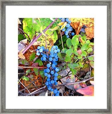 Wild Grapes Framed Print by Todd Hostetter