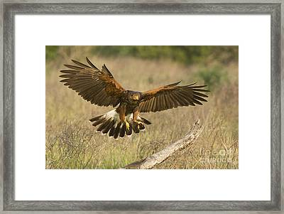 Wild Harris Hawk Landing Framed Print by Dave Welling