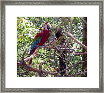 Framed Print featuring the photograph Wild Hawaiian Parrot  by Joseph Baril