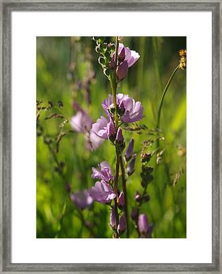 Wild Hollyhock Framed Print by Jenessa Rahn