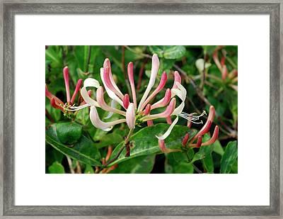 Wild Honeysuckle (lonicera Periclymenum) Framed Print by Jon Wilson/science Photo Library