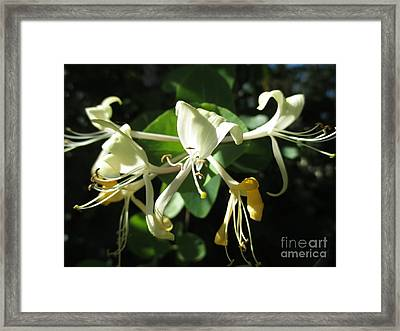 Wild Honeysuckle Framed Print