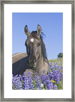 Wild Horse Foal In The Lupines Framed Print