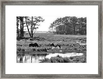 Framed Print featuring the photograph Wild Horses Of Assateague Feeding by Dan Friend