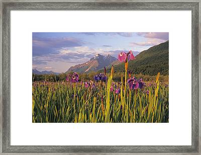 Wild Iris Blooming In Front Of Pioneer Framed Print by Jim Barr