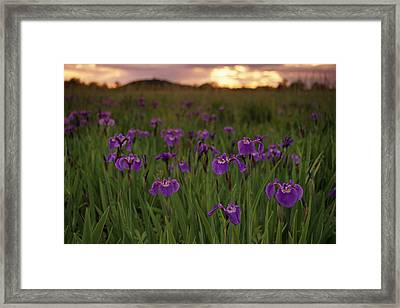 Wild Iris Blooms On Palmer Hayflats Framed Print by Calvin Hall