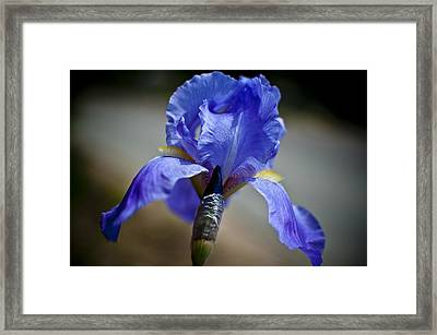 Wild Iris Framed Print by Ron White