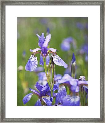 Wild Irises Framed Print by Rona Black