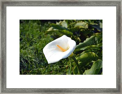 Wild Lily Framed Print by Barbara Snyder