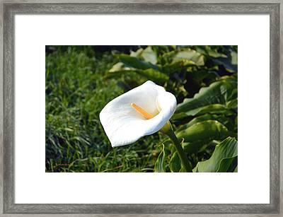 Wild Lily Framed Print