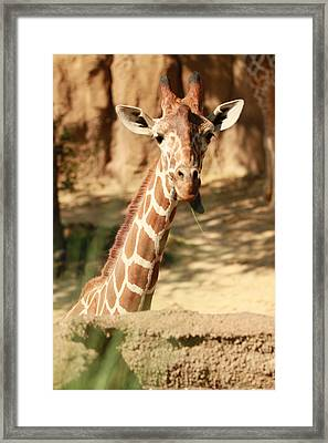 Wild Look Framed Print by Tinjoe Mbugus