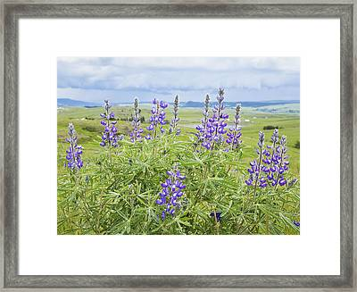 Wild Lupine Framed Print by Theresa Tahara