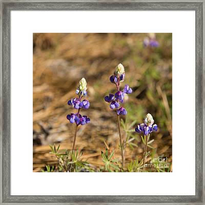 Wild Lupins Framed Print by Jane Rix